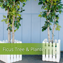 Ficus Tree & Planter